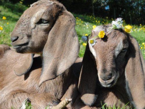 coachella goats