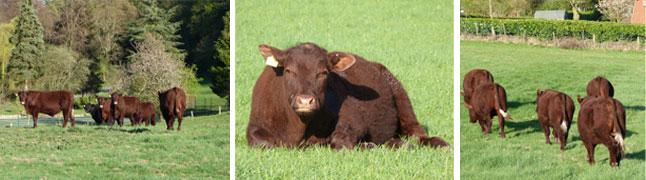 Sussex cattle enjoying Surrey sunshine