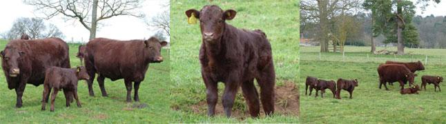 Soring Calves